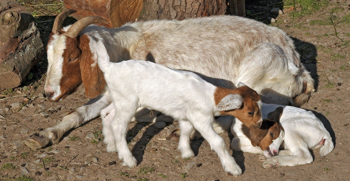 Boer Goat with two Kids
